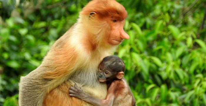 Monkey at Bako